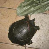 Черепахи останутся на родине