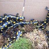 Контрабандные саламандры